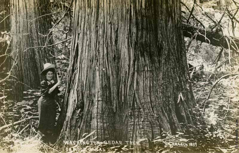 O. T. Frasch Image 1059 - Washington Cedar Tree on Hood Canal